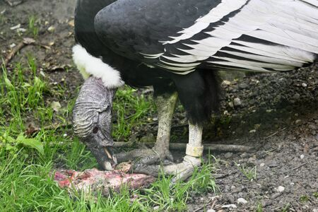 Vultur gryphus - Andean condor eating carrion in an outdoor aviary. Banco de Imagens