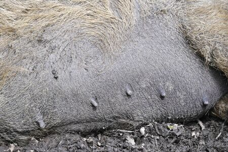 Nipples Of A Sow Lying On The Mud.