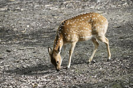 Axis - Chital In The Paddock Outside.