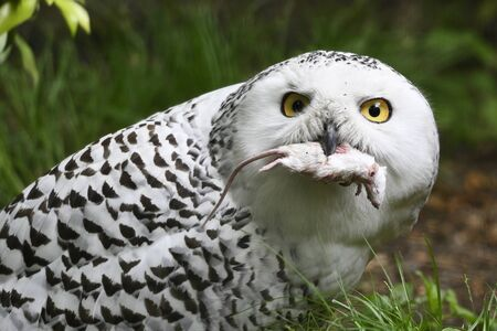 Female Snowy Owls Holding A Mouse In Its Beak. Stock fotó