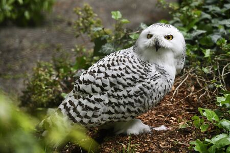 Female Snowy Owls on the Ground and Dead Mouse on the Ground.