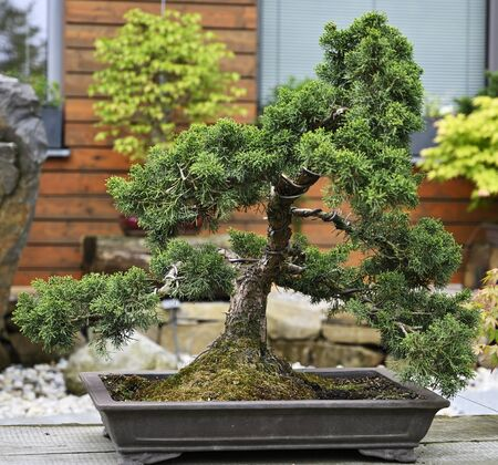 Bonsai conifer in a ceramic bowl. Stock Photo