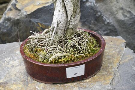 Detail of bonsai roots with ceramic bowl.