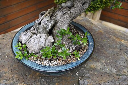 Bonsai trunk with roots and green leaves.