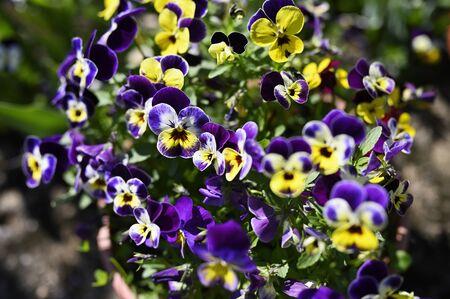 Fleurs violettes colorées en détail à l'extérieur.