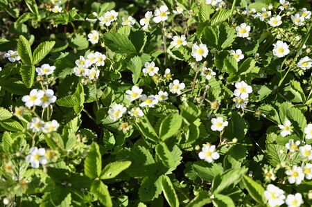 White flowers of strawberry outdoors.