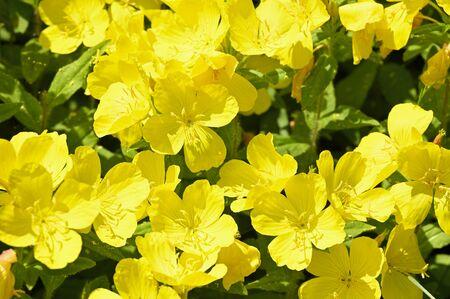 Big Yellow Flowers Glowing Outdoors. Фото со стока - 127412165