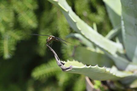 Big blue dragonfly sitting on aloe leaf. Archivio Fotografico