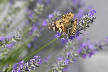 Vanessa cardui - Butterfly Tortoiseshell on lavender flower.