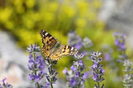 Vanessa cardui - Butterfly Tortoiseshell on lavender flower. Reklamní fotografie