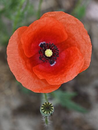 Red poppy flower in detail on field. Imagens