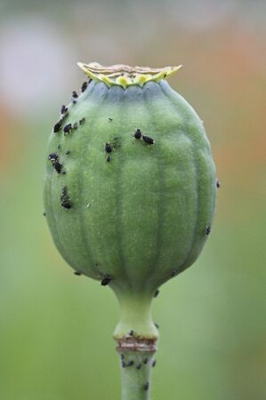 Black aphids on poppy mace in nature.