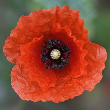 Red poppy flower in detail on field. Фото со стока - 128027698