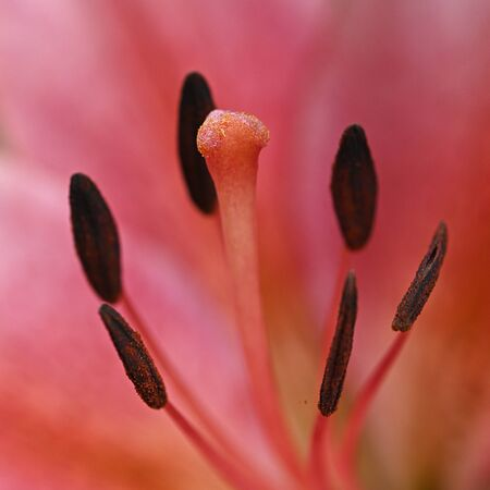 Red lily flower in detail on stigma and pistils.