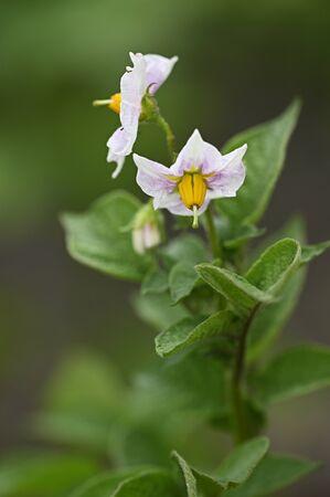 White potato flower with yellow pistils.