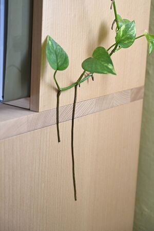 Climbing plant attached to the side of the cabinet. 写真素材