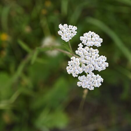 White yarrow flowers seen from above.