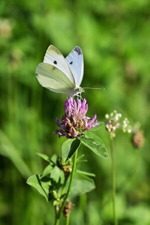 White-veined butterfly on a flower in a meadow.