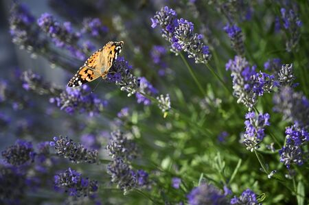 Butterfly thistle on lavender flower.