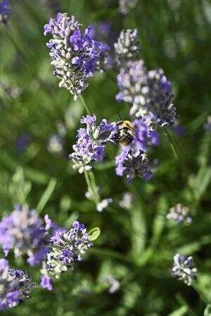 Bumblebee on lavender flower.