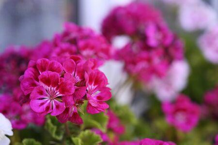 Pink geranium flowers. Zdjęcie Seryjne