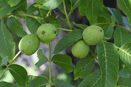 Green walnuts and green leaves on tree.