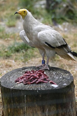 White bird scavenger on stump with chopped liver.