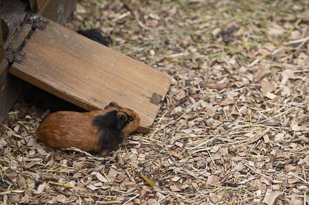 Guinea pig in the paddock outdoors.