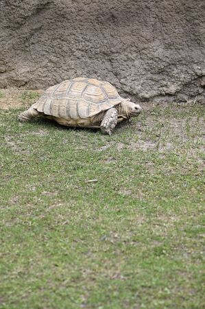 Land Tortoise outside in the paddock.