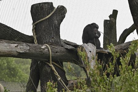 Adult Chimpanzee sitting on trunk outdoors in paddock.