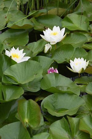 White water lily flower and green leaves.