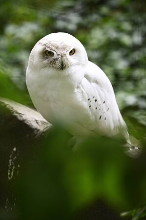 Snow White Owl in aviary.