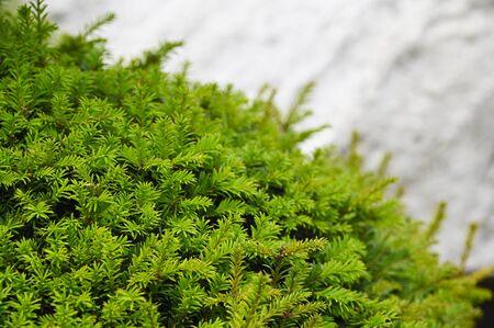 Green pine needles.
