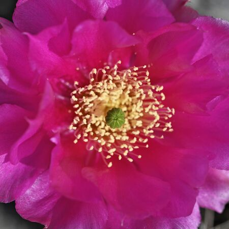 Close-up of pink prickly pear cactus flower.