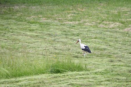Stork walking on mown grass. Banque d'images