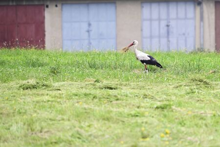 Stork carrying rest of grass with garages in background.
