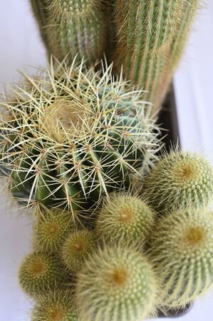 Cactus in pot with spines.