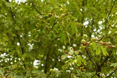 Green fruits of chestnut on  tree.