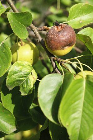 Rotting apple on tree.