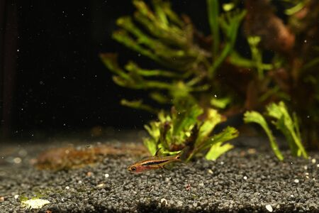 Boraras brigittae - A small fish in an aquarium.