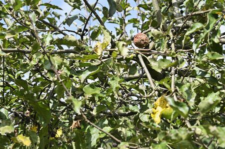 Rotten apple on tree and green leaves. Imagens