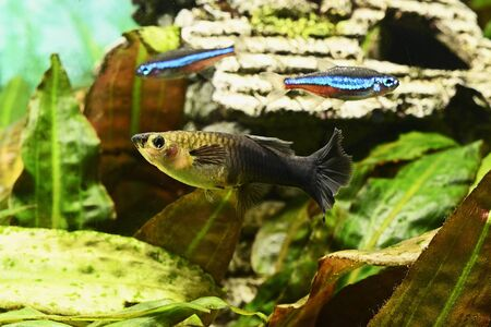 Poecilia - Aquarium fish female peacock butterfly.