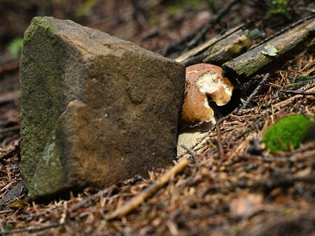 Boletus growing near stone in forest.