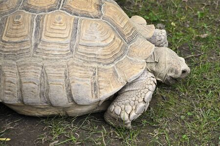 Giant Tortoise - Walking Tortoise on a Poor Lawn.