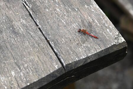 Big Red Dragonfly sitting on the table.