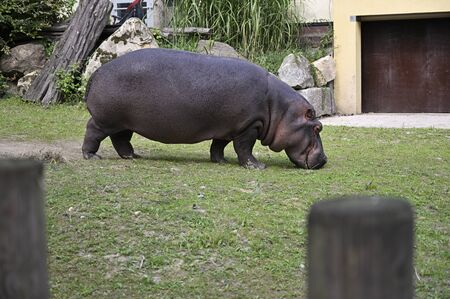 Hippo outside in paddock near building.