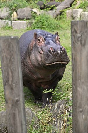 Close-up of an adult hippo outside.