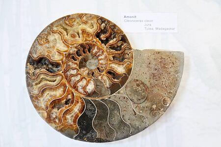Cut Fossil Ammonite Box with Sediments.