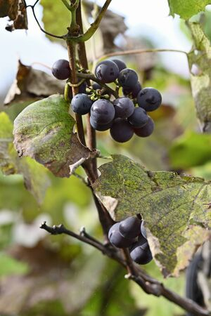 Blue wine fruits on plant.