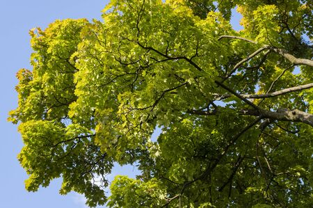 Autumn leaves on maple tree.
